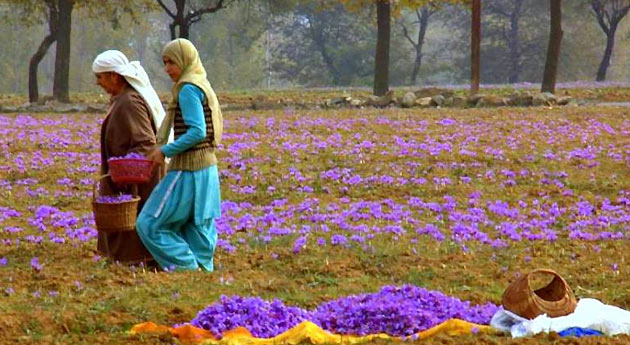 saffron fields Pahalgam